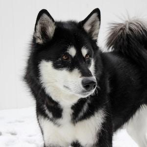 white and black Siberian husky