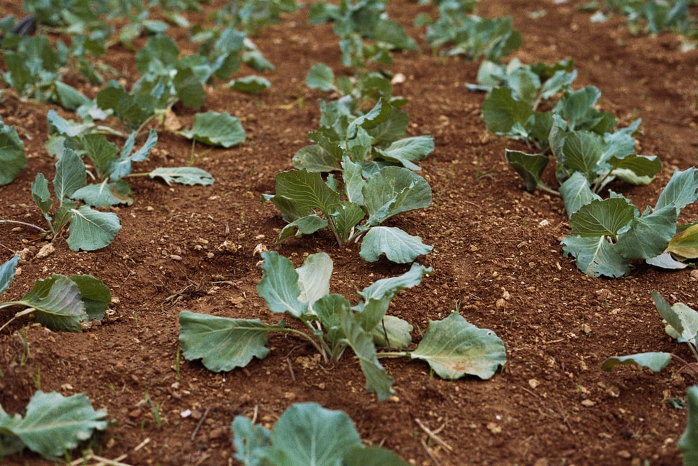 close-up photo of green vegetable plants