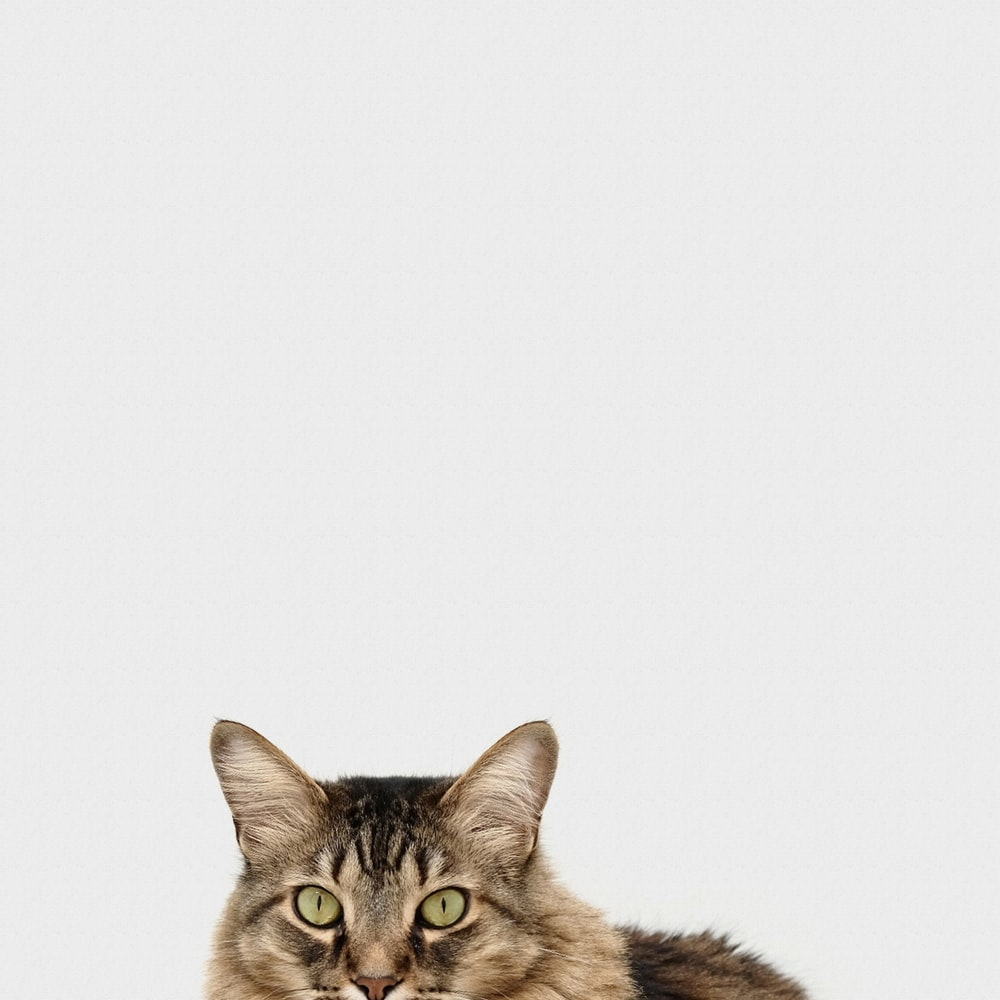 brown and white tabby cat
