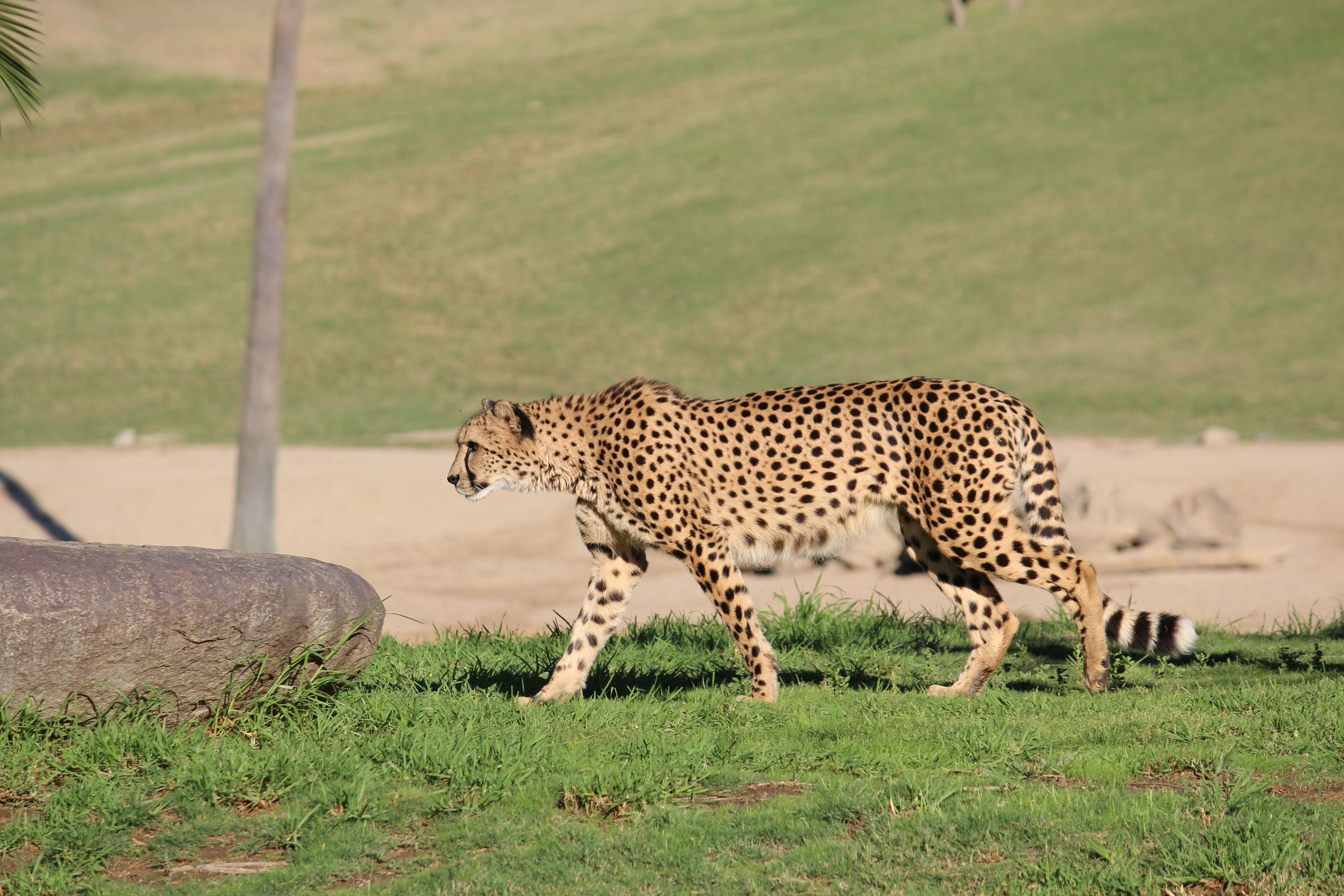 brown and black cheetah on grass field