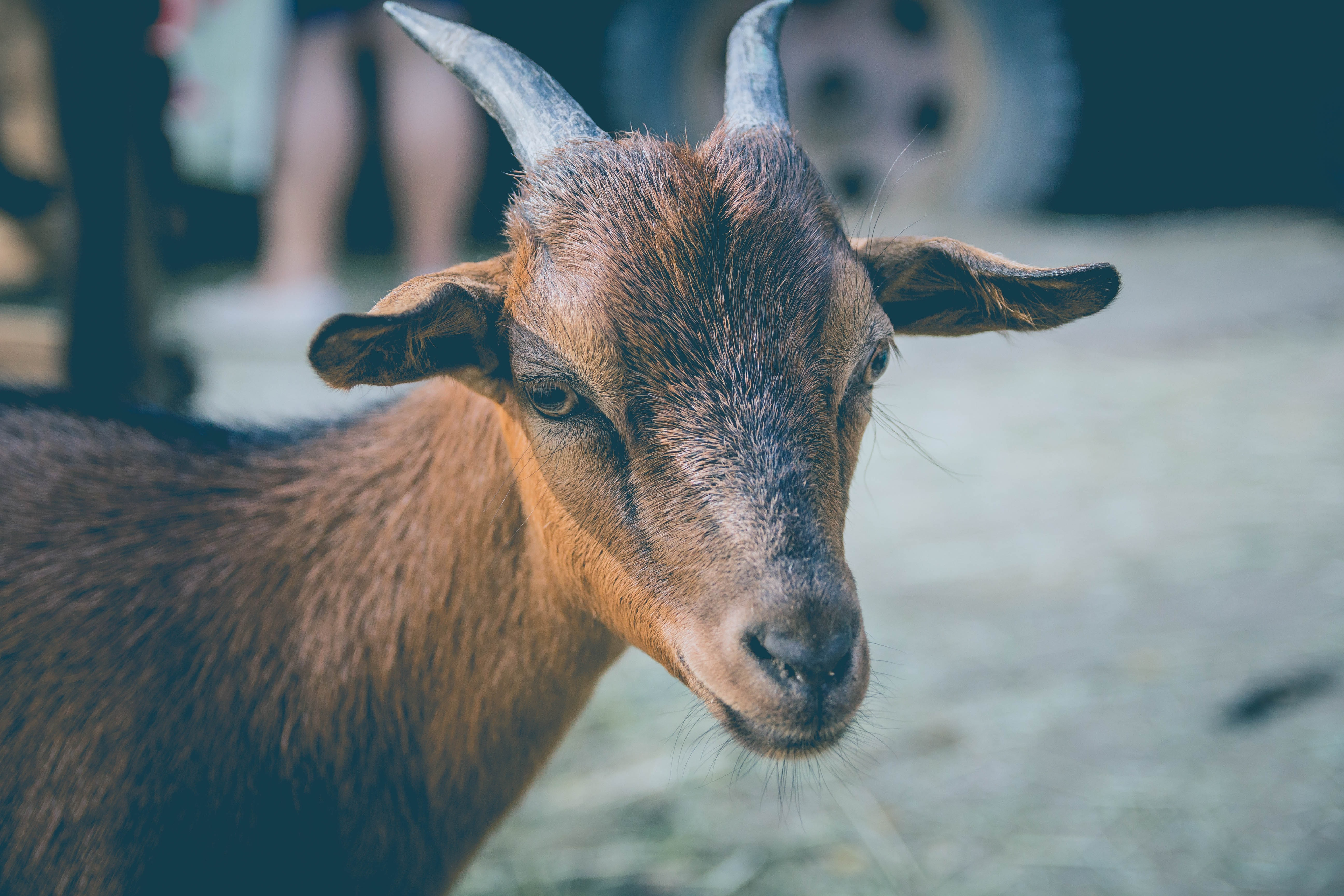 macro shot photography of brown goat