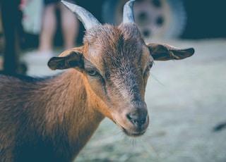 macro shot photography of brown goat
