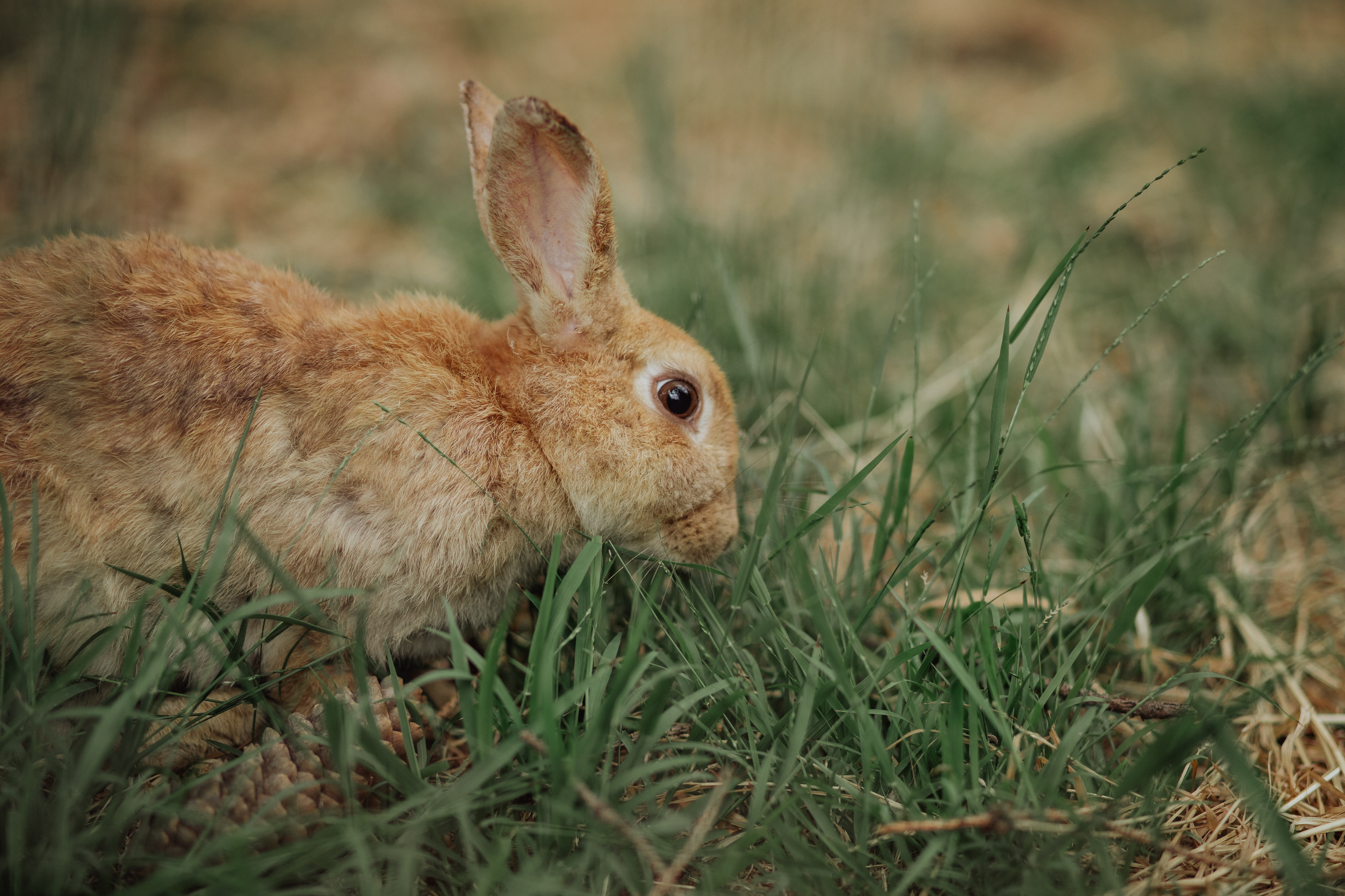 brown rabbit on grass