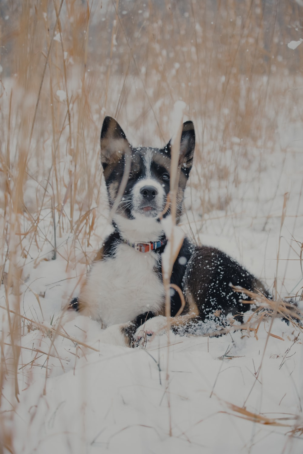 short-coated black and white dog on snowy field