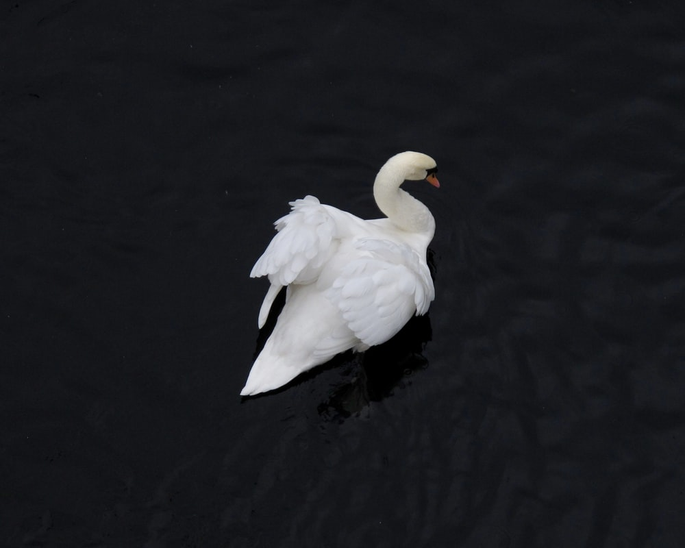 swan on body of water closeup photography