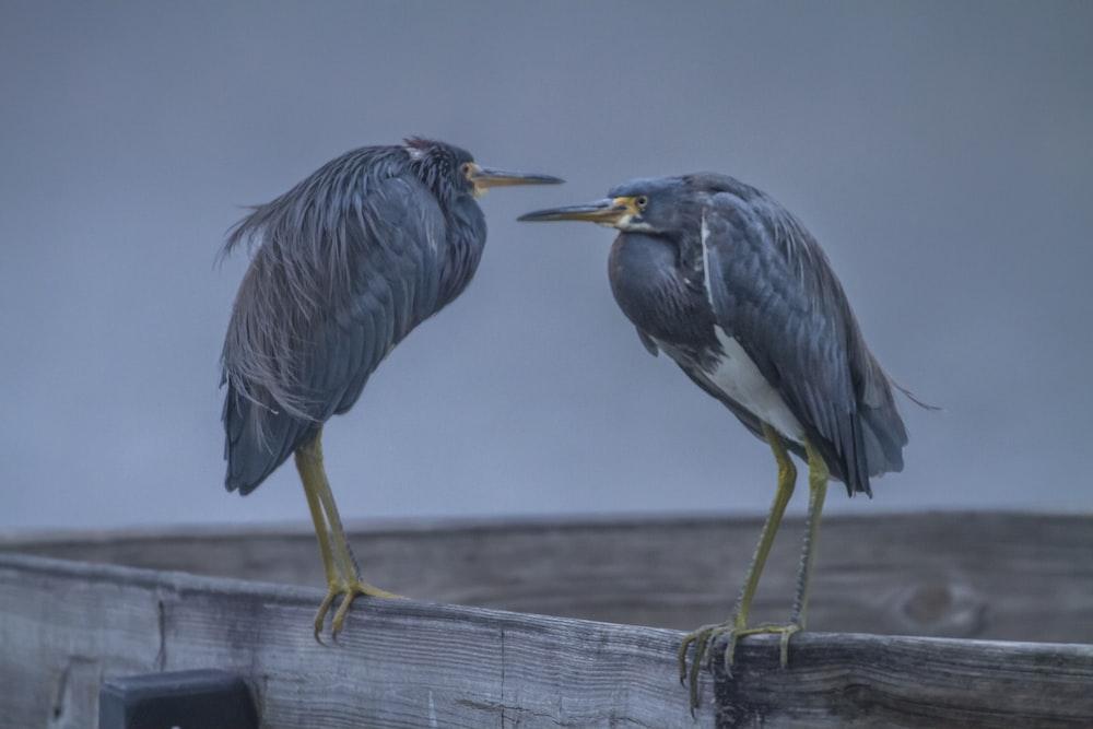 two gray birds