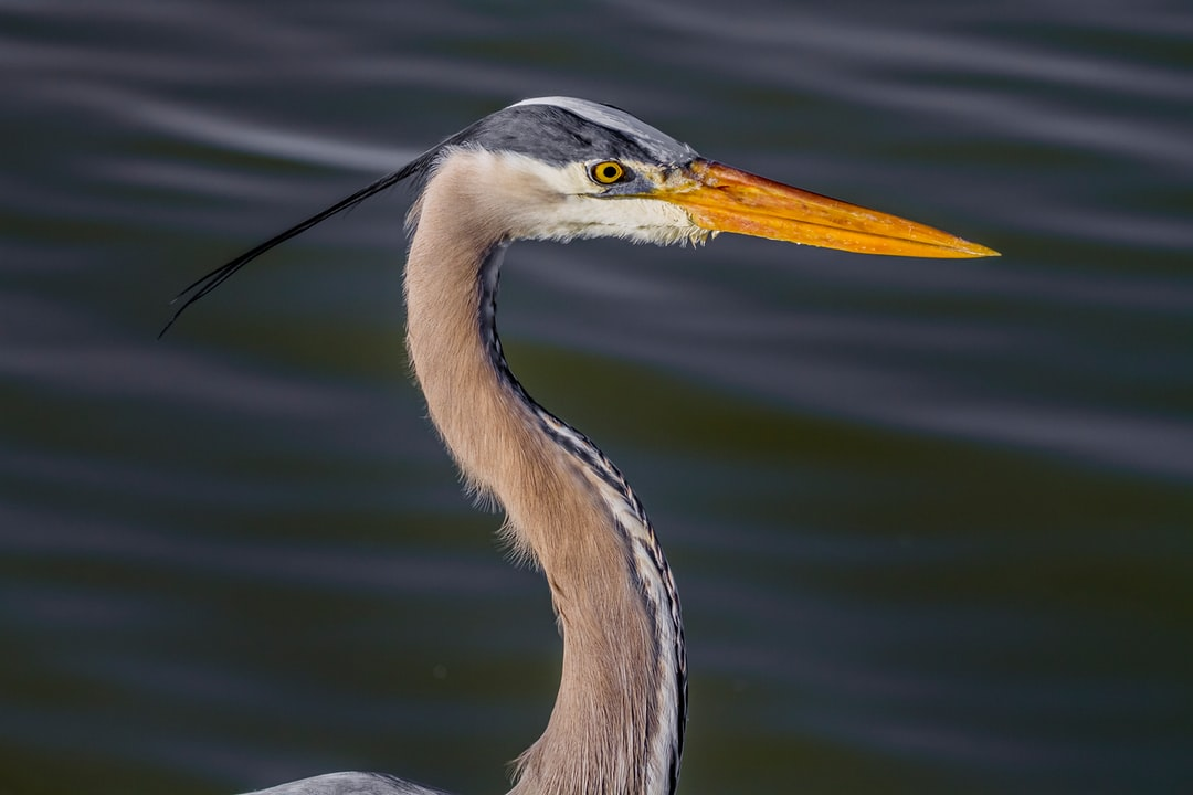 Great Blue Herons can be 3-4 feet tall, and this one was standing very still as he fished in the lagoon.  His focus and stately posture gave me ample opportunity to get a clear shot of his facial features and feathers.