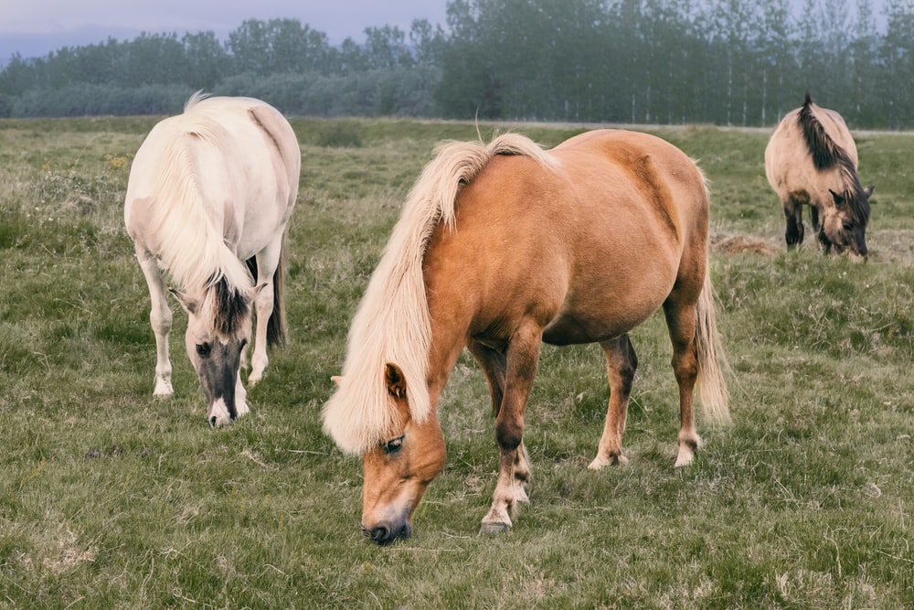 three brown and white horses on green grass field at daytime