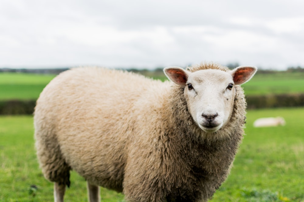 close up photography of sheep in grass field