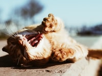 yawning orange tabby cat on brown wooden tabletop