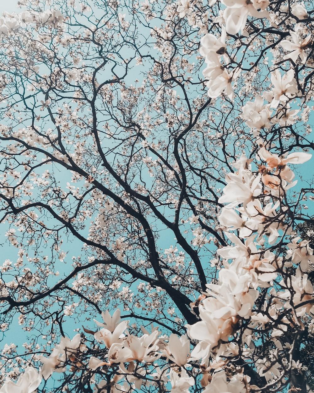 sakura tree in bloom