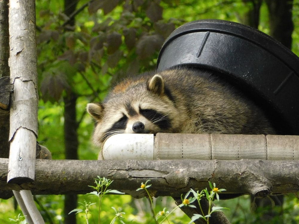raccoon lying on tree branch with black bucket on its back