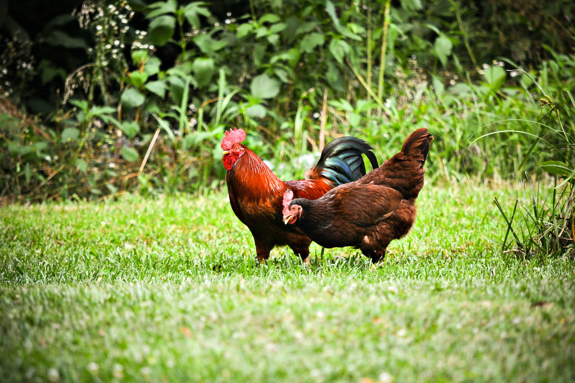 rooster and hen on grass field