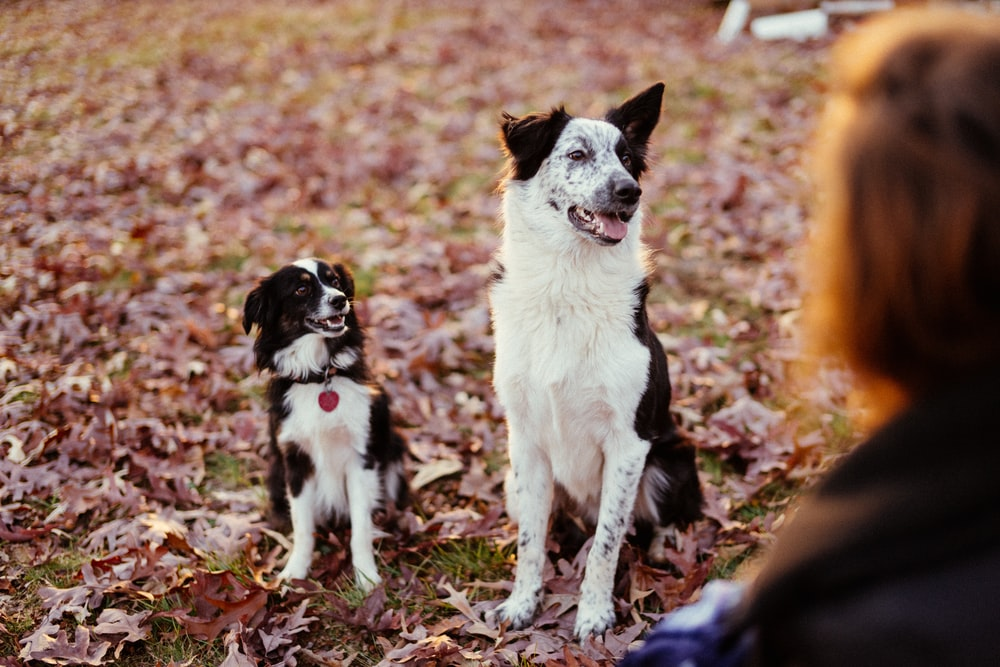 short-coated white and black dogs sitting on grass field