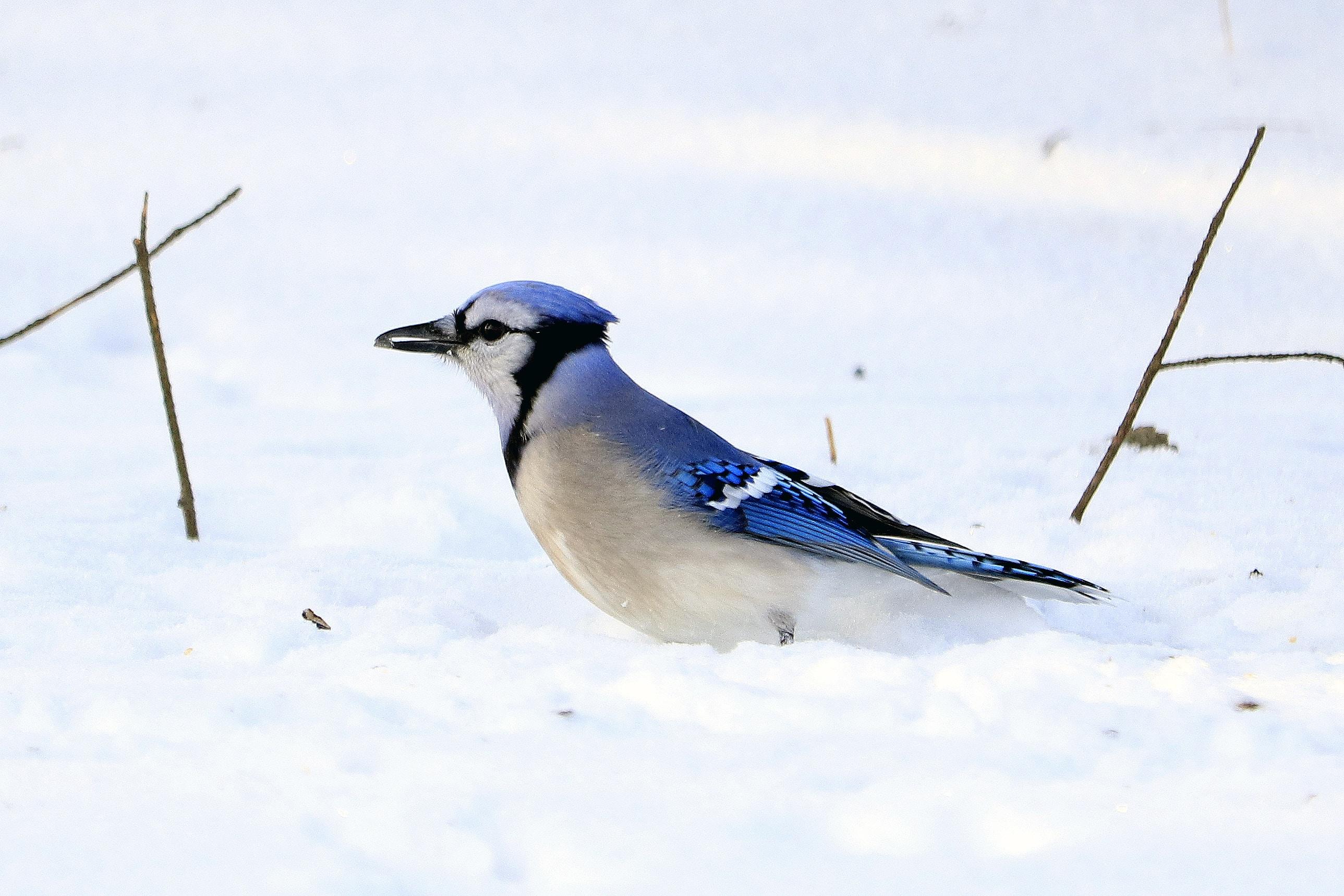 Blue Jays bird on white snow