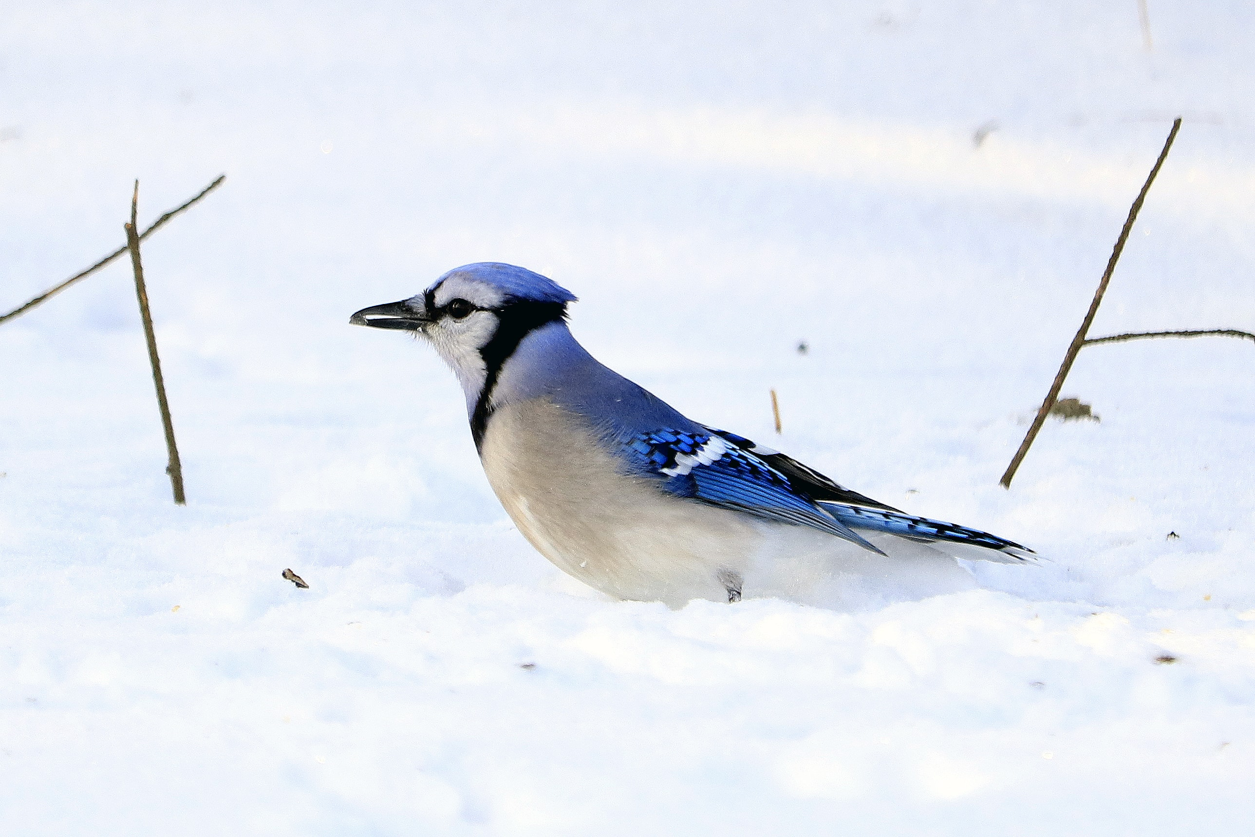 Blue Jays bird on white snow