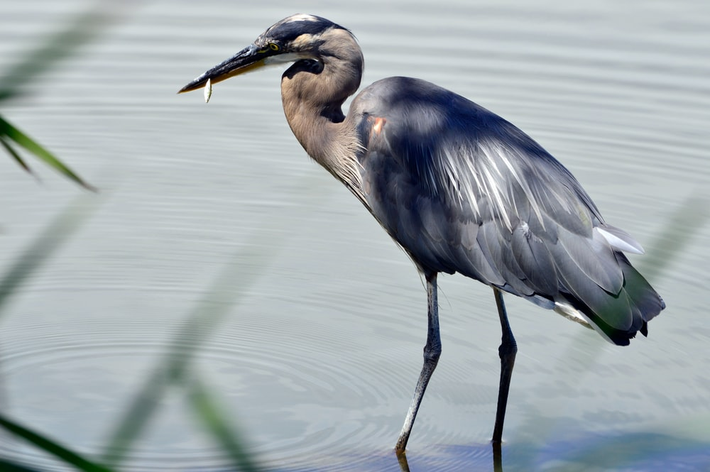 crane with fish in beak standing in water