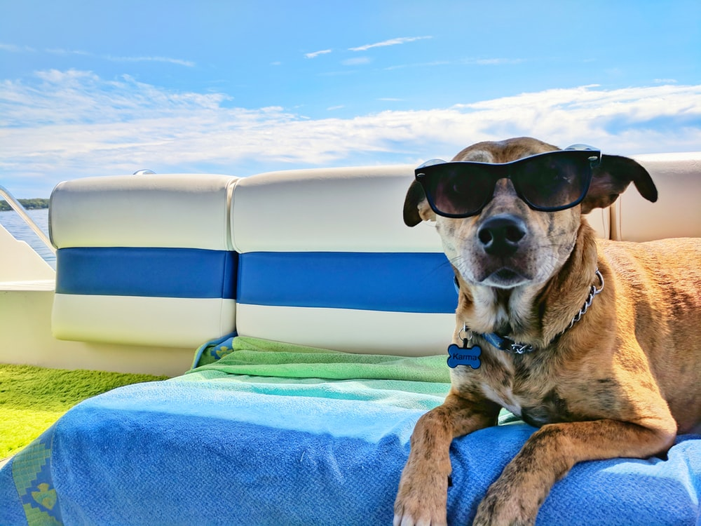 brown dog wearing sunglasses on blue textile