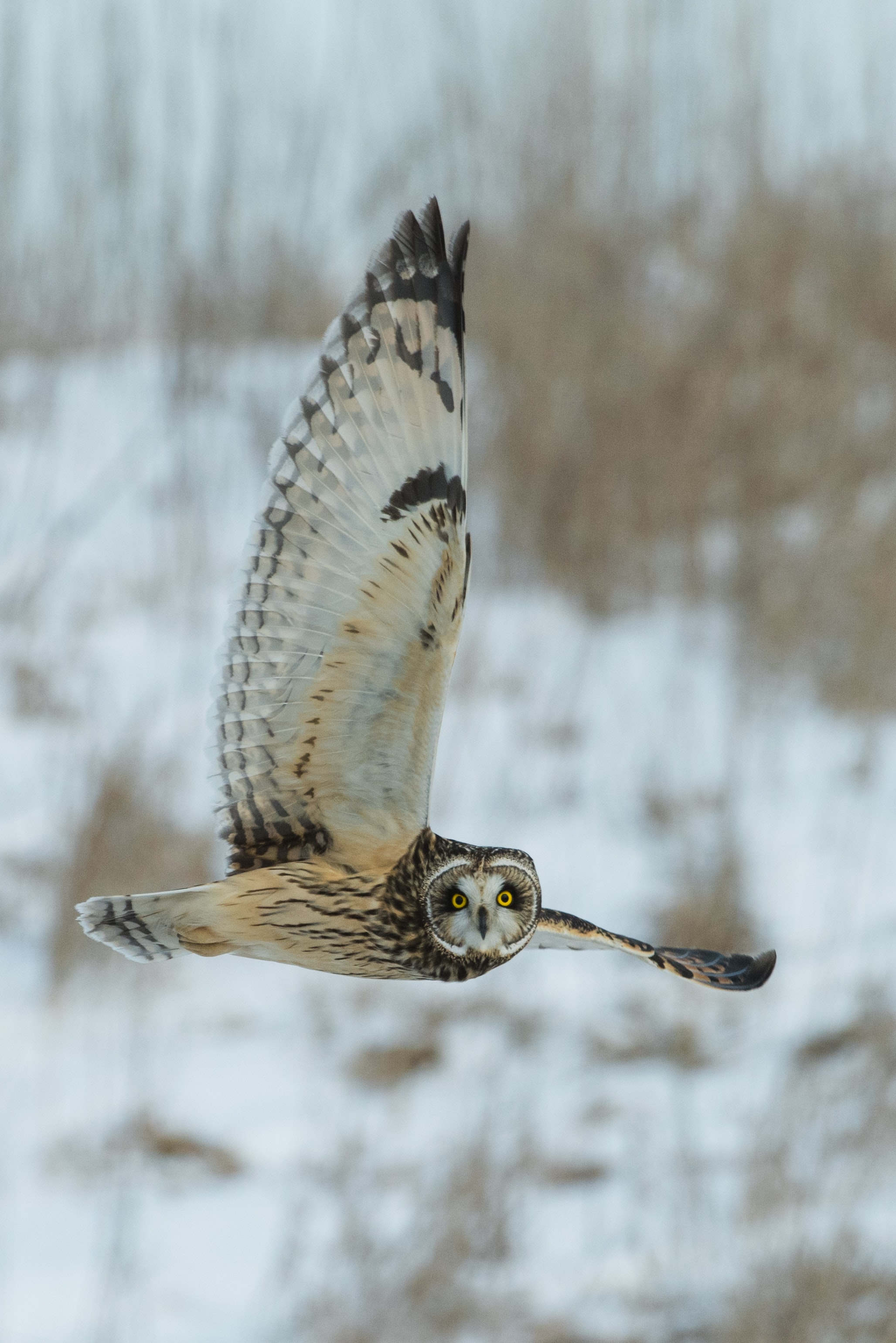 time lapse photography of owl flying