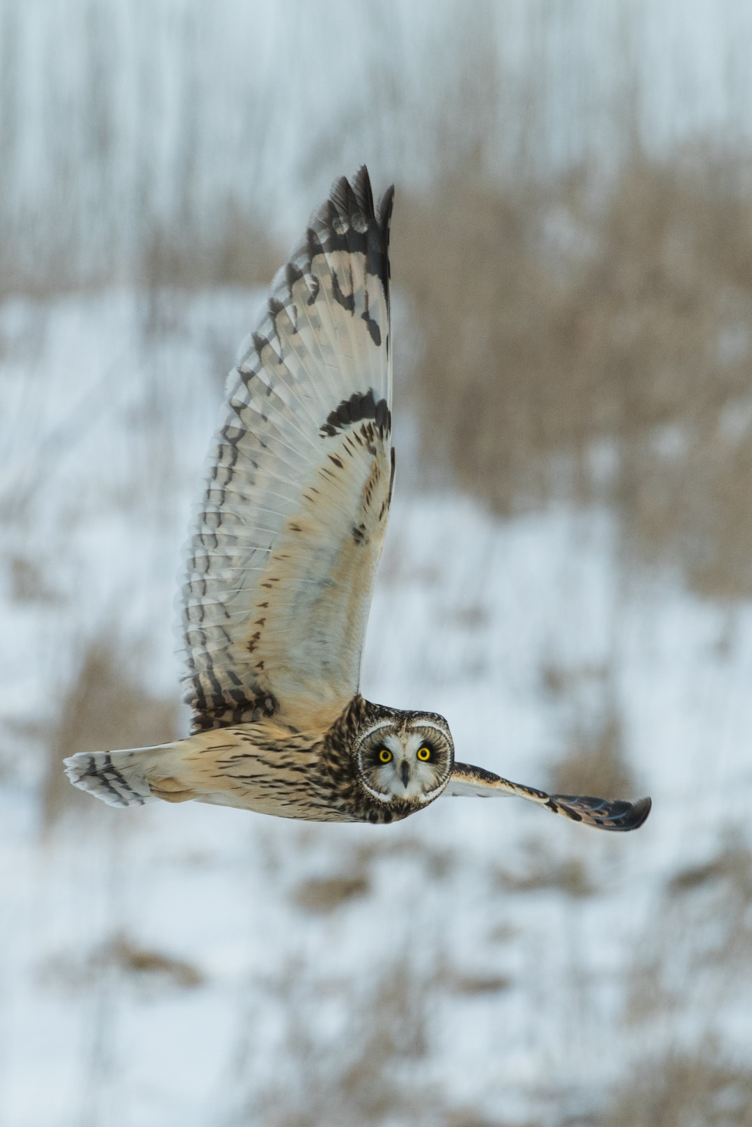 An  exceptional day for photographing owls in the wild! After days of snow and cold, the owls were very active and obviously hungry, taking to the air in the afternoon (generally they take to the air around dusk).  In the area there were about twenty owls , with as many as ten visible at one time.