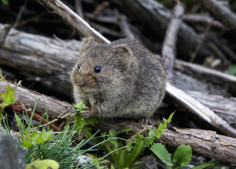 brown rodent eating grass