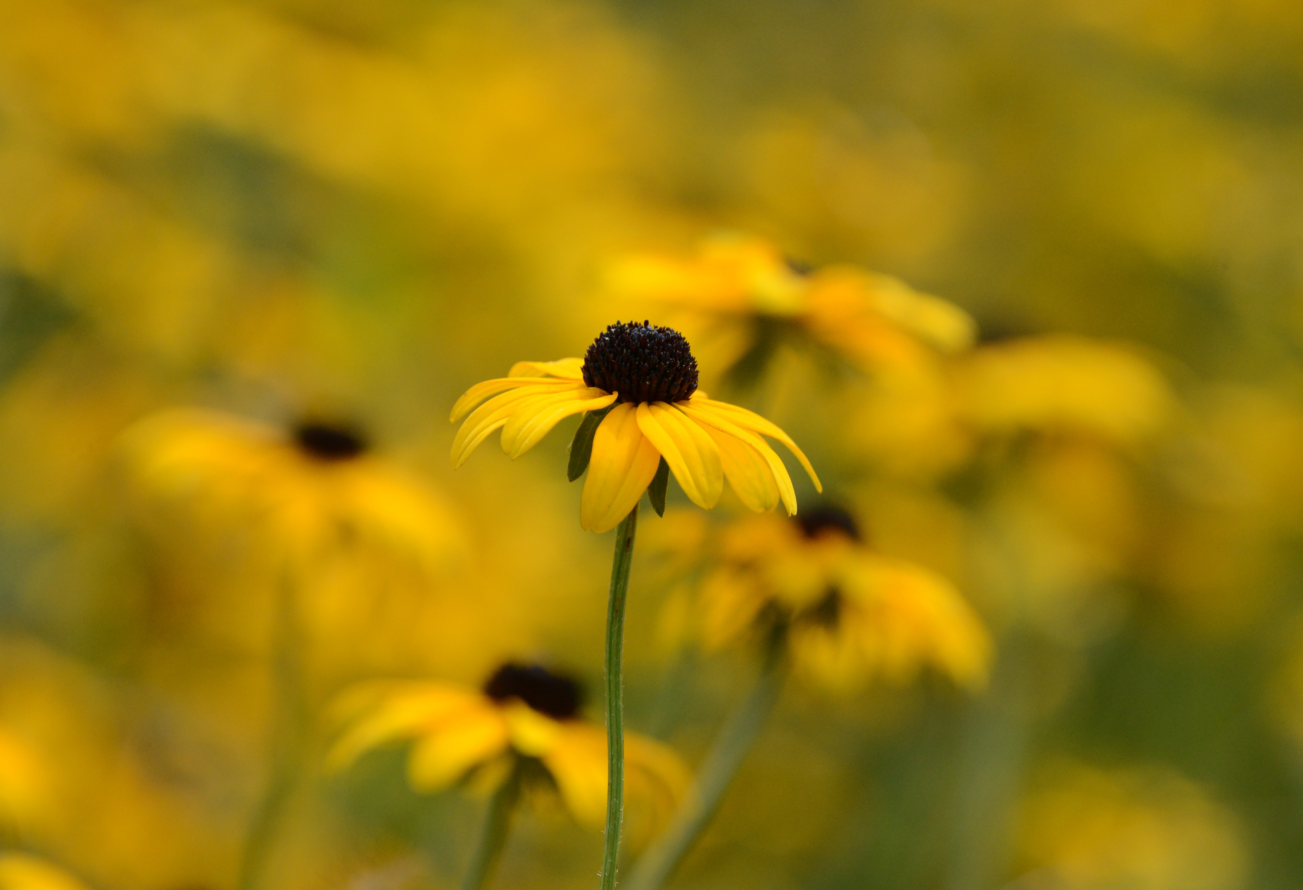 selective focus photography of black-eyed Susan