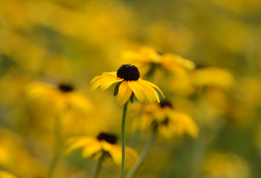 Flowers yellow pictures download free images on unsplash selective focus photography of black eyed susan mightylinksfo