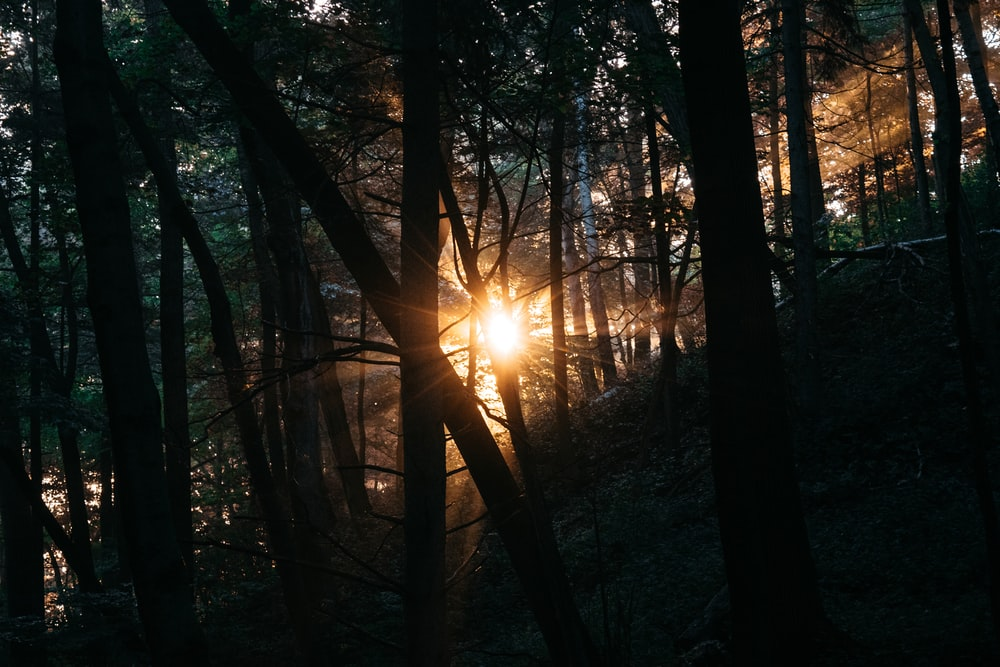 sunrays passing through forest trees