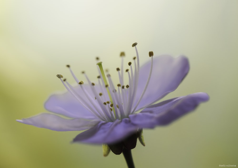 purple petaled flower in bloom