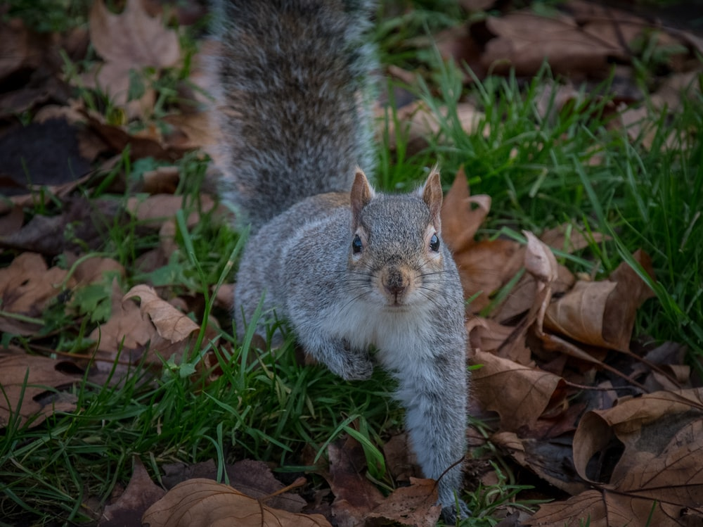 squirrel on grass and dry leaves