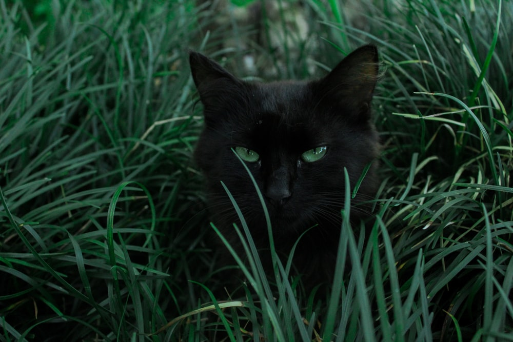 black cat hiding behind green grass