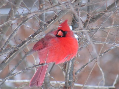 red cardinal bird on bare tree branch during daytime