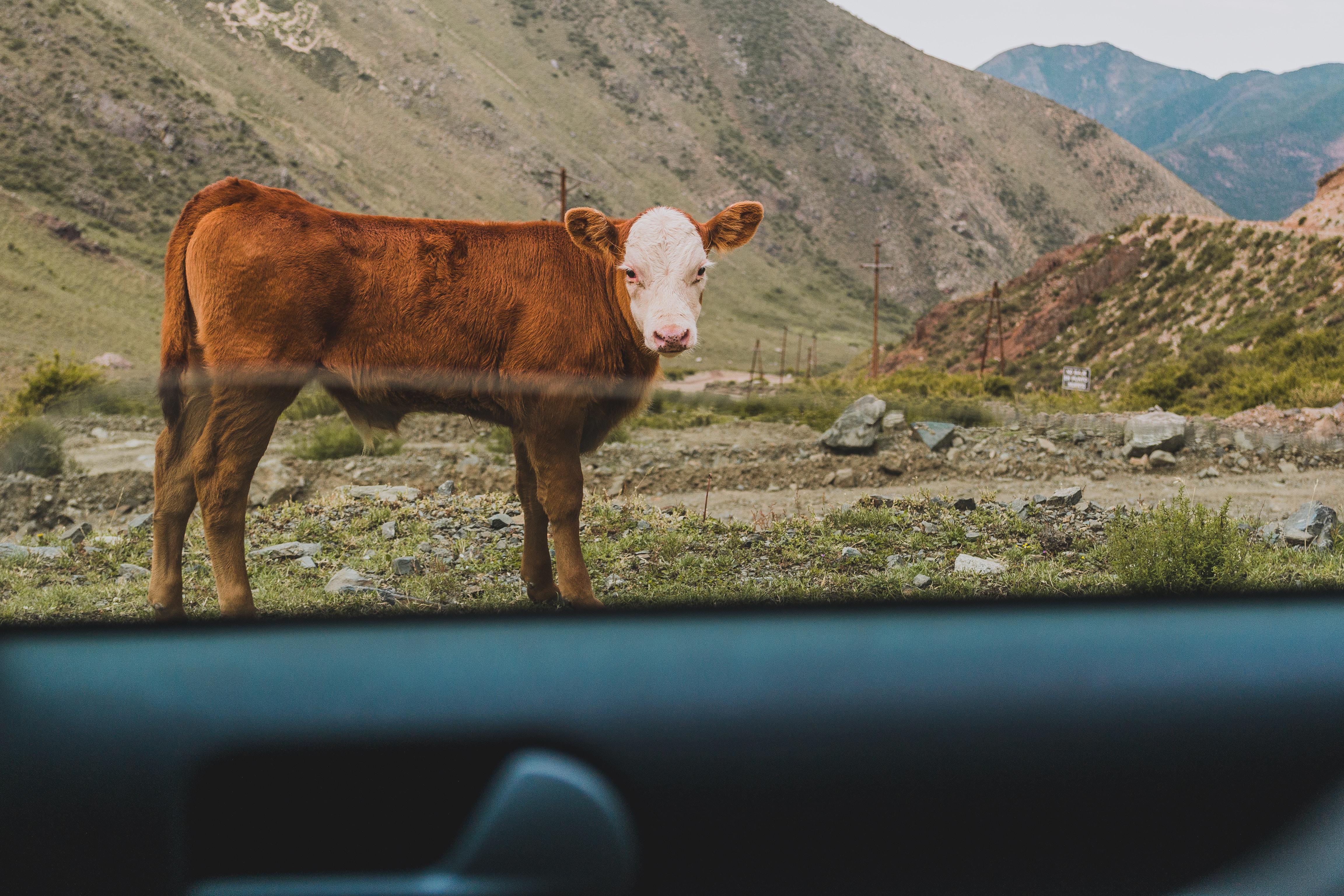 brown cattle on green ground