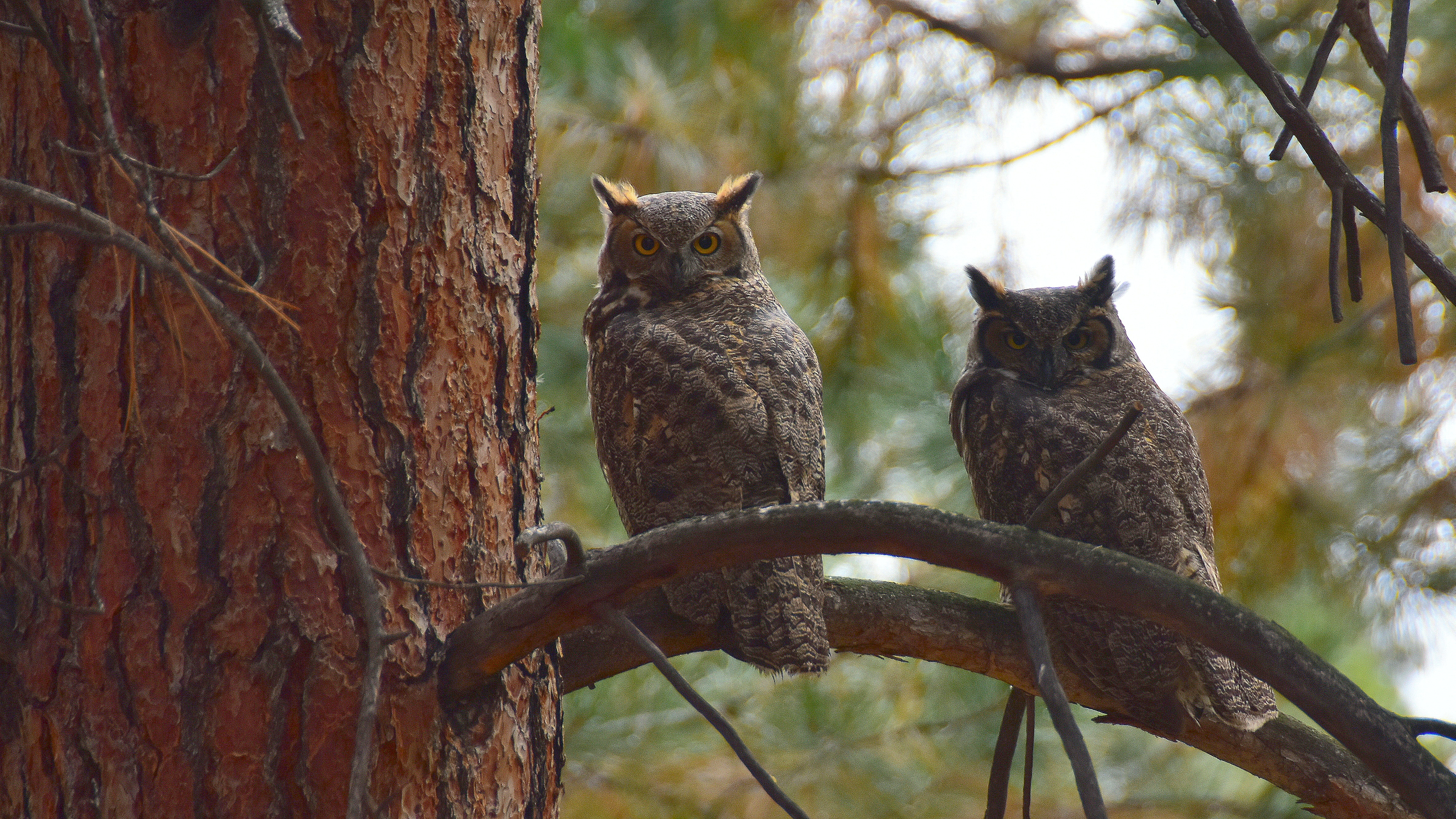 two gray owls perching on brown tree at daytime