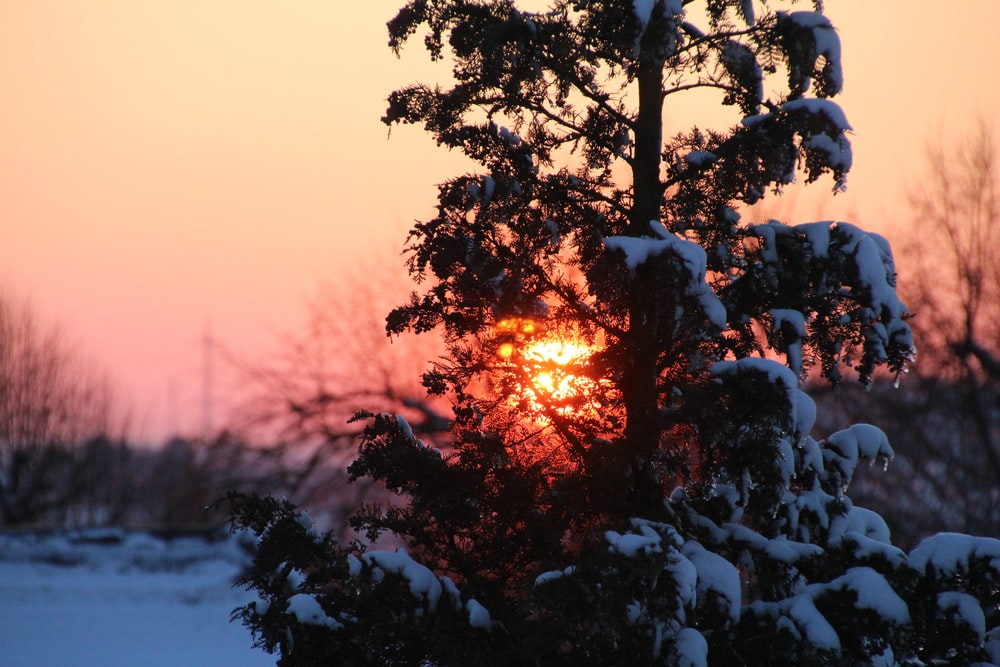 snow-covered tree with sunset background