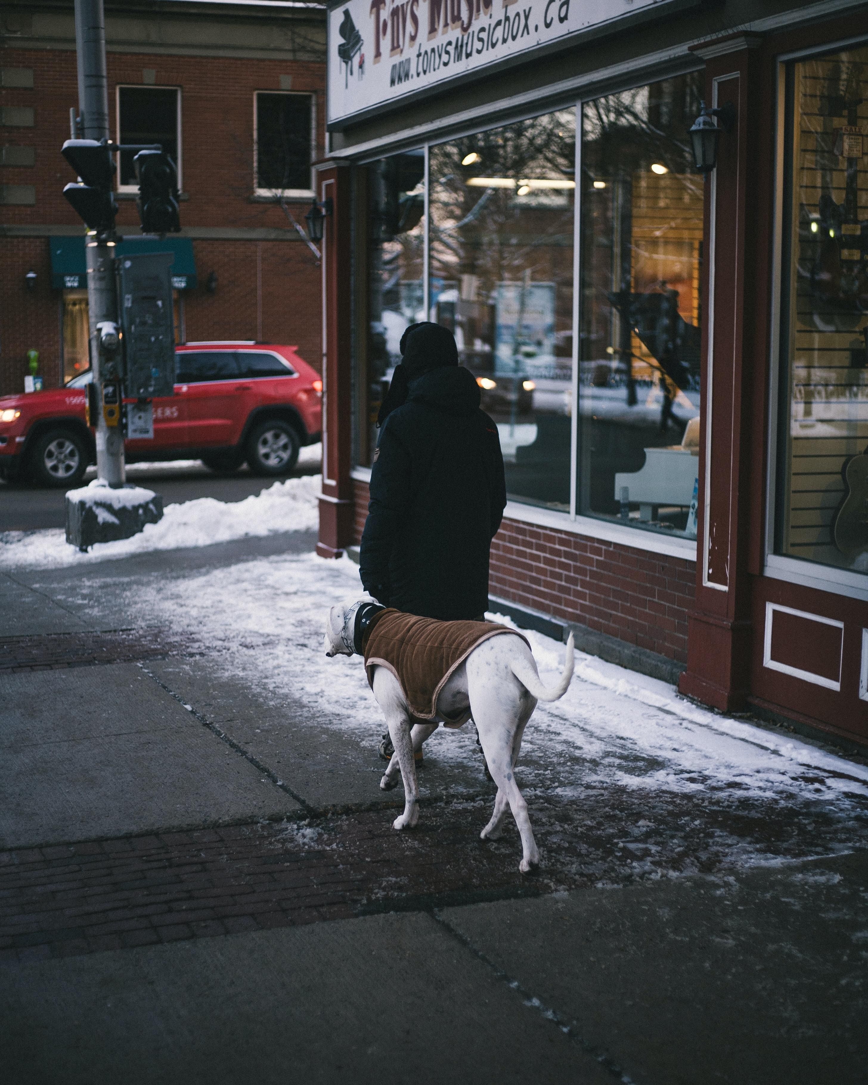 person walking with adult great dane on sidewalke
