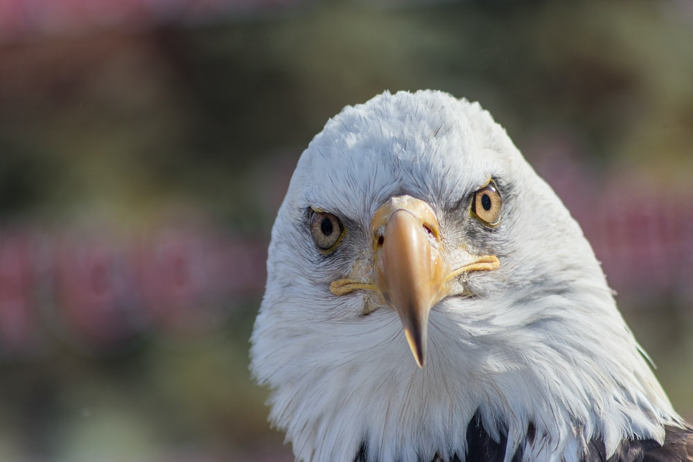bald eagle during day