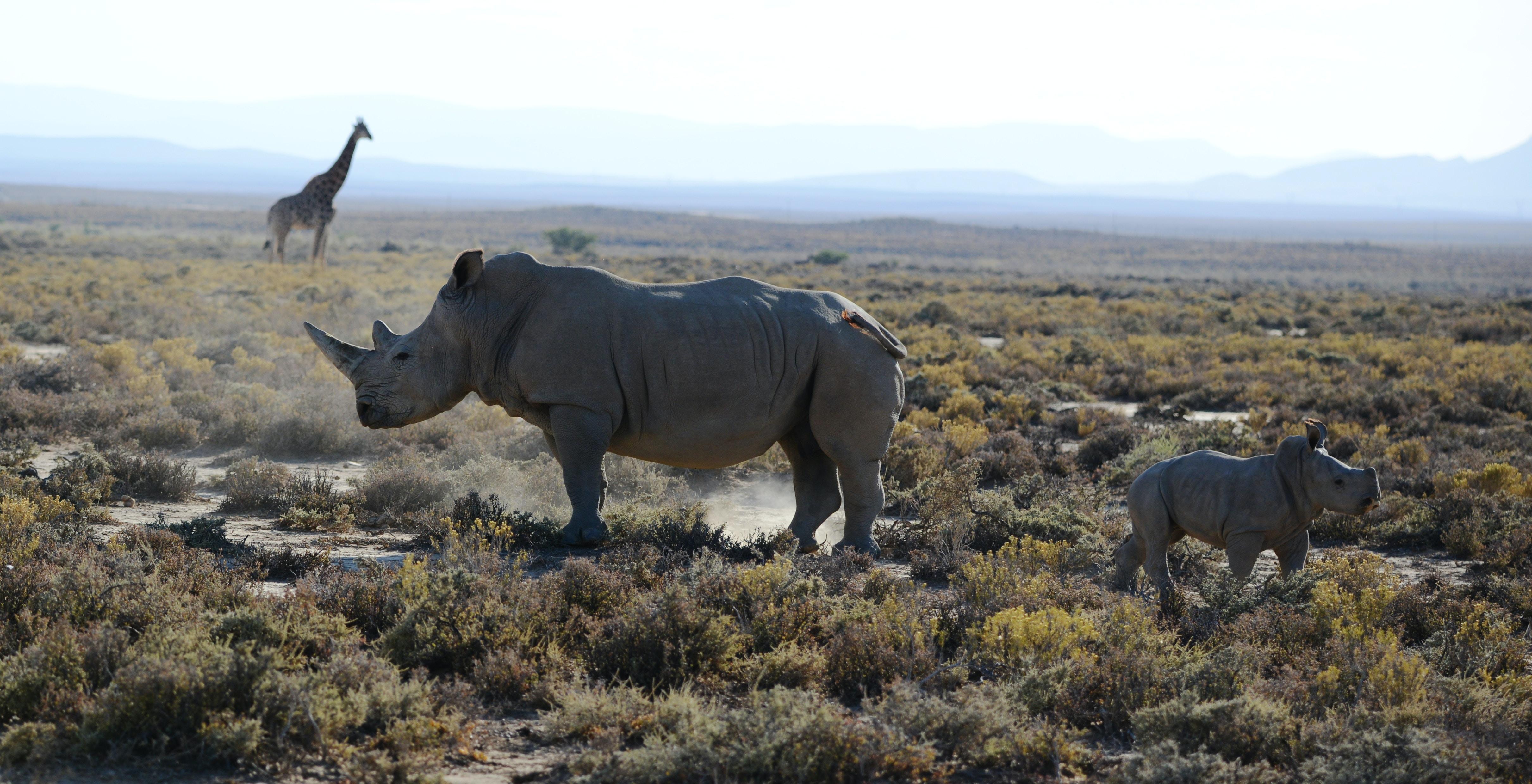 Rhinos on grass land