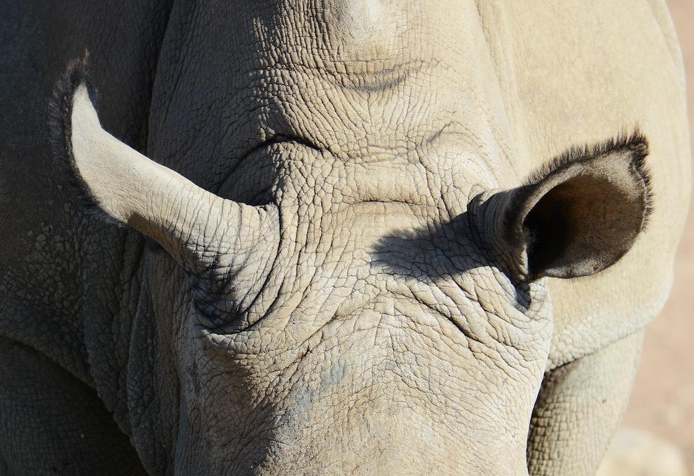 gray rhinoceros