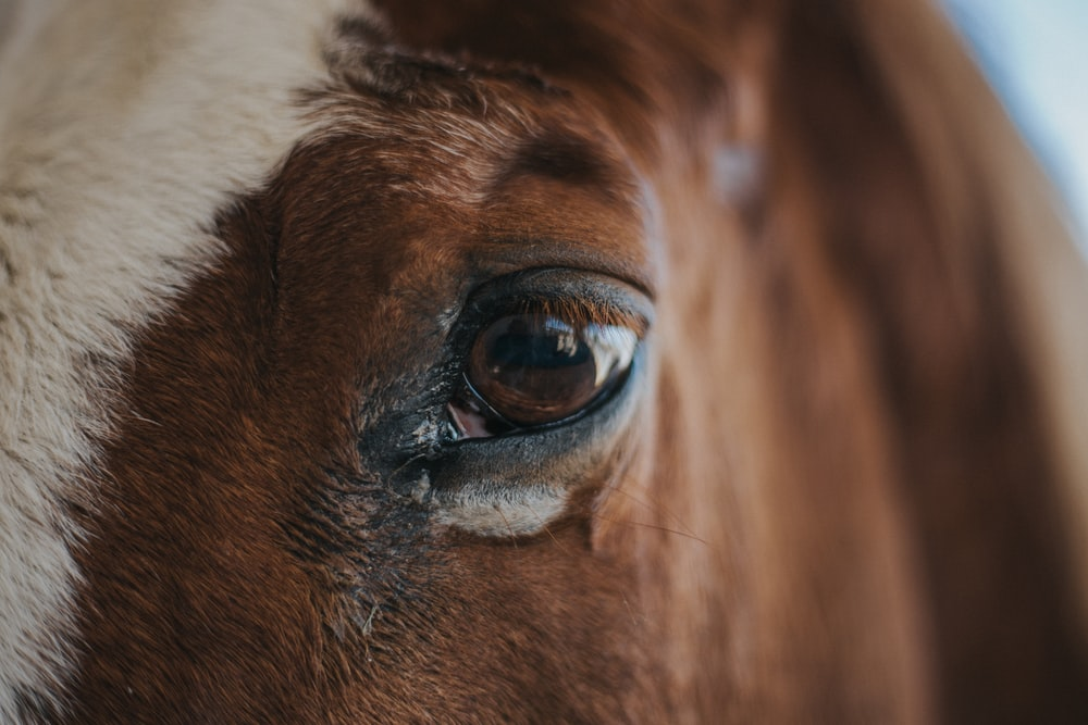 macro shot photo of horse left eye