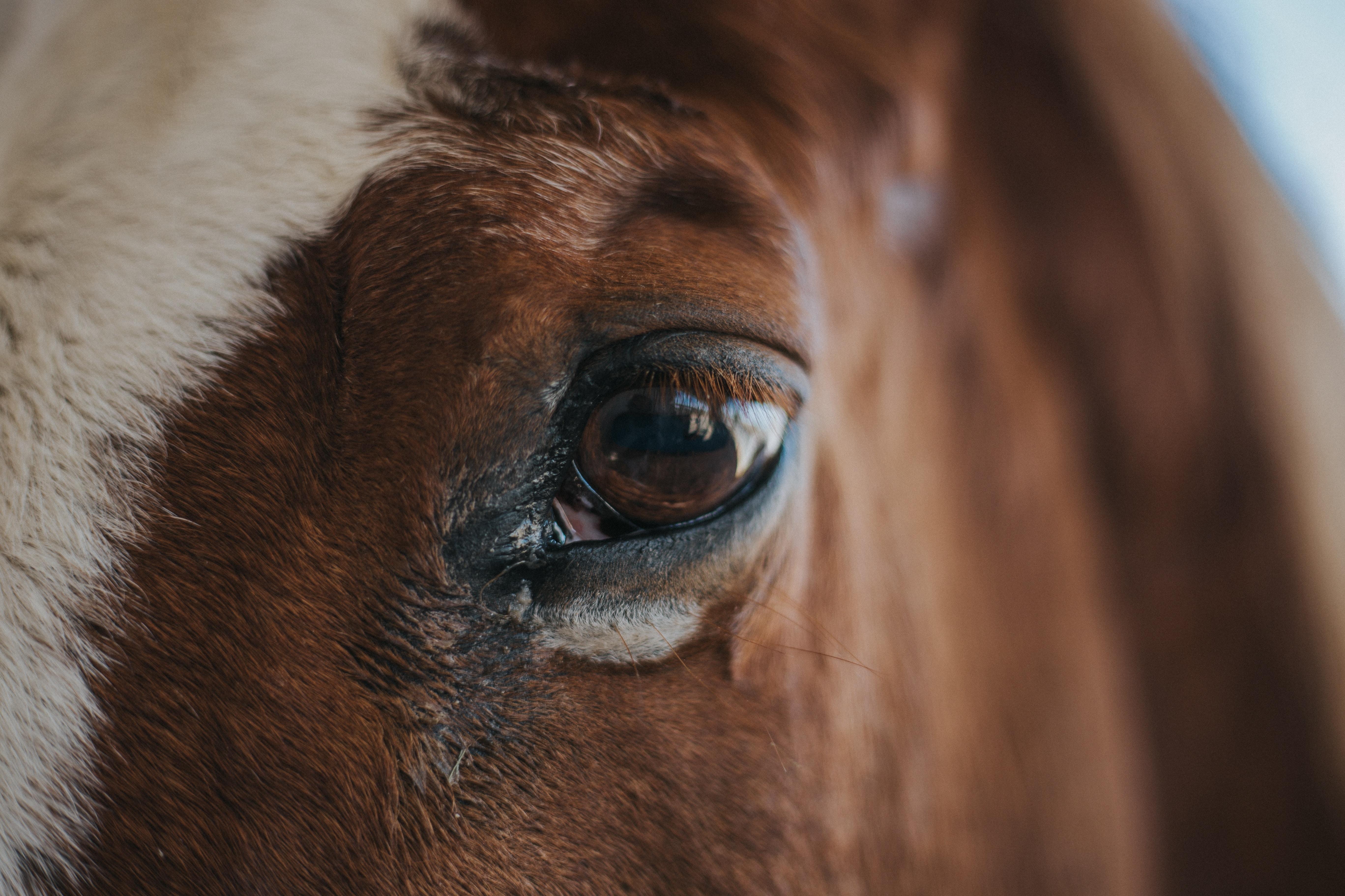 macro shot photo of horse left eye