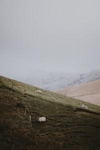 three white goats on grass field