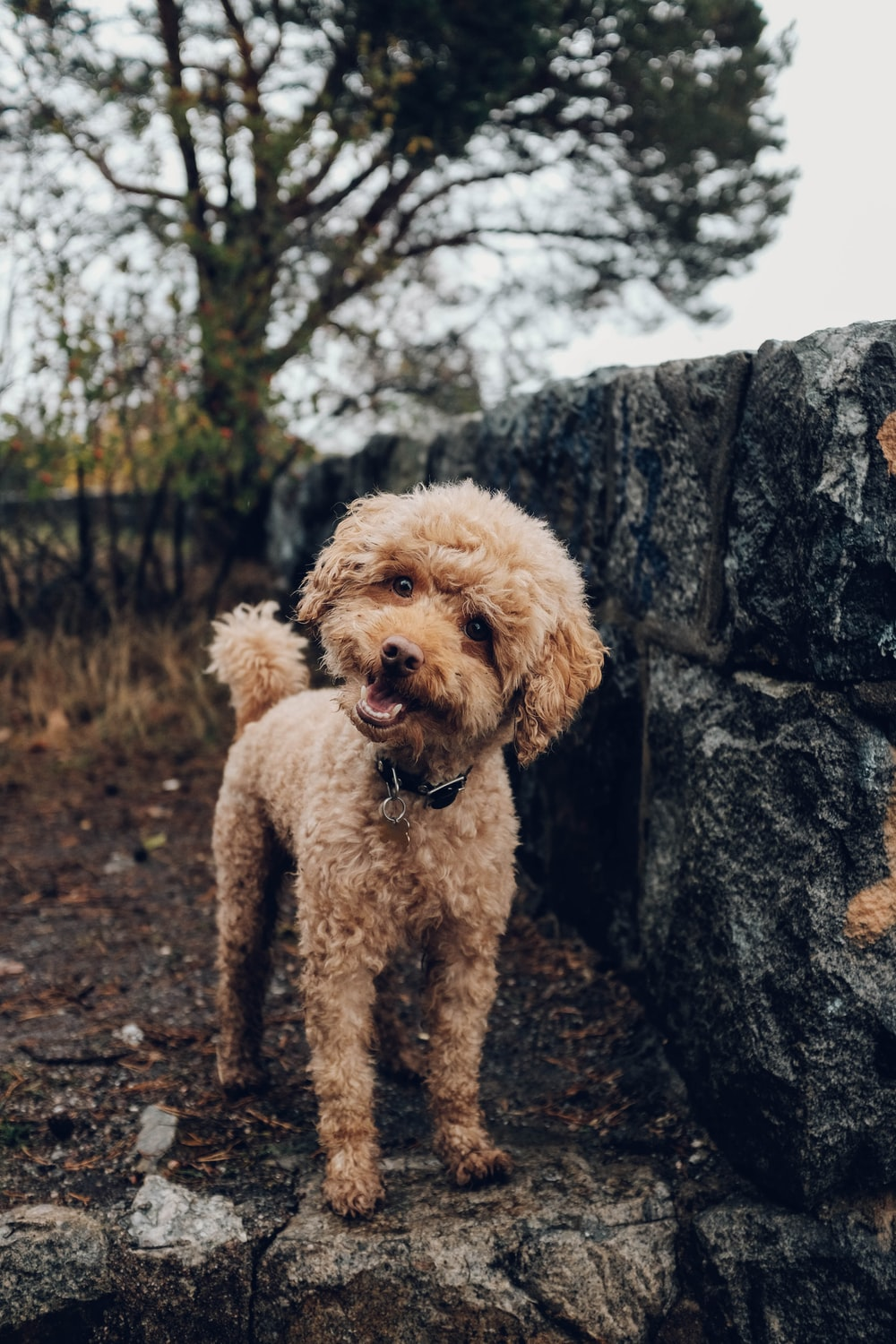 Poodle Pictures Download Free Images On Unsplash