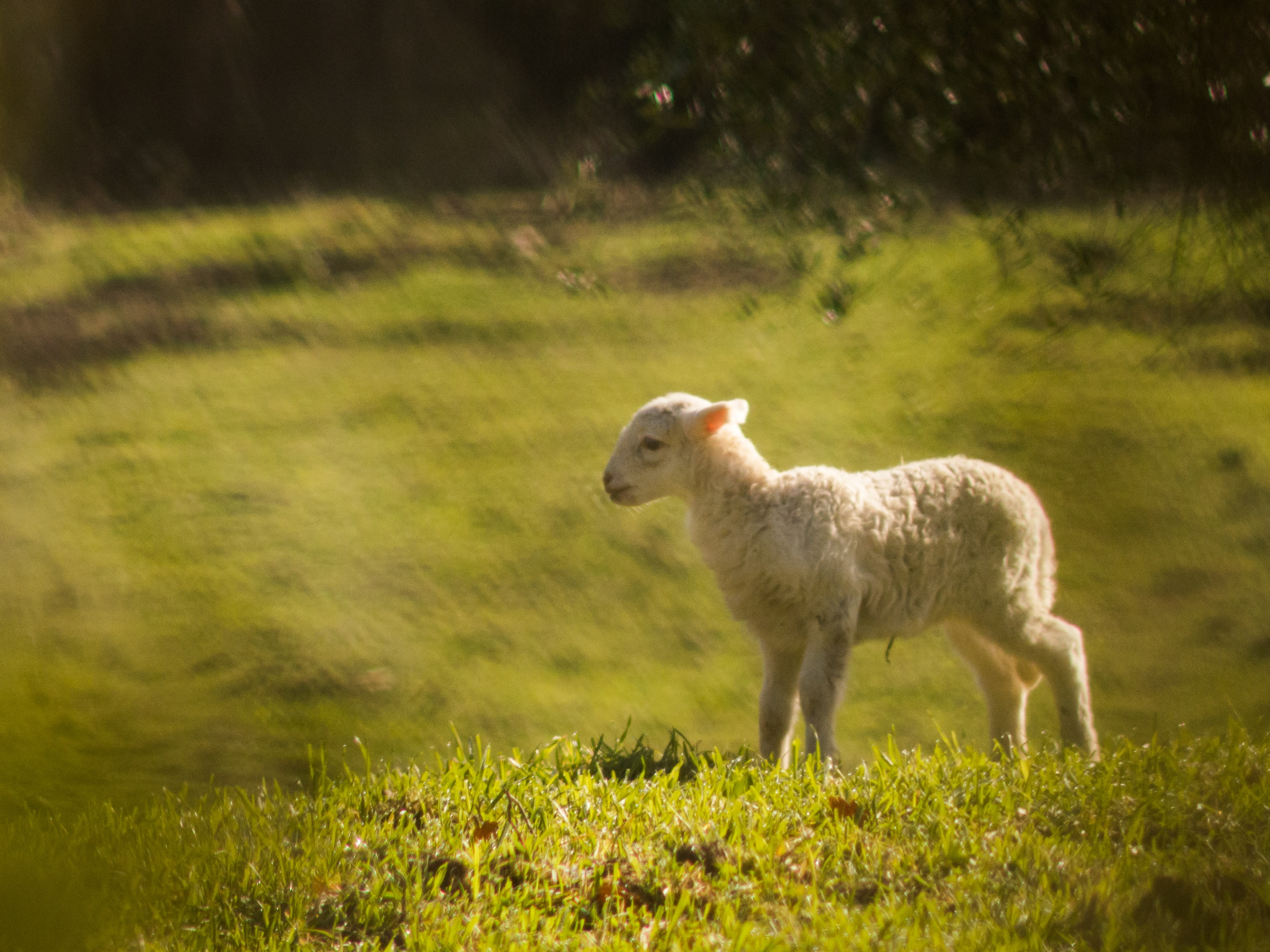 white lamb on green grassland during daytime