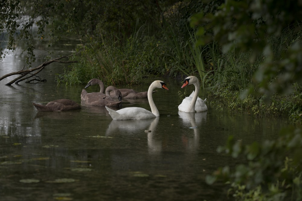 group of swan swimming on water