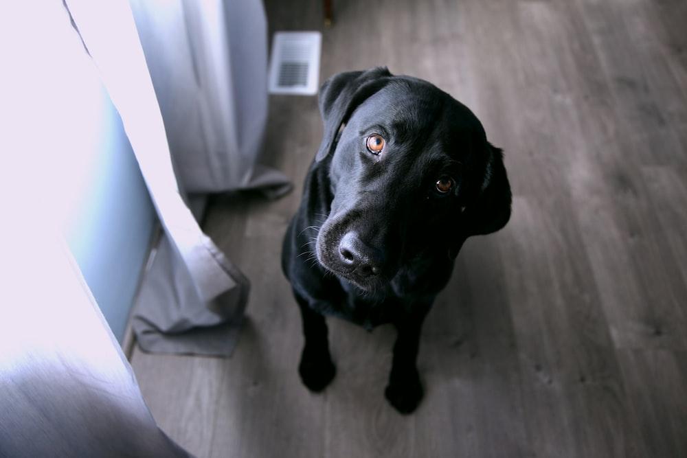short-coated black dog sitting