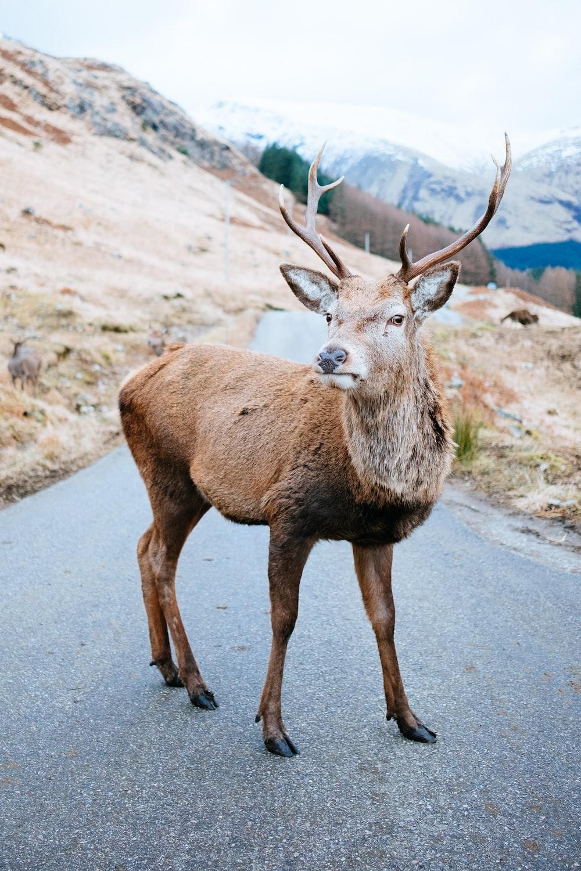 brown deer near brown hill at daytime
