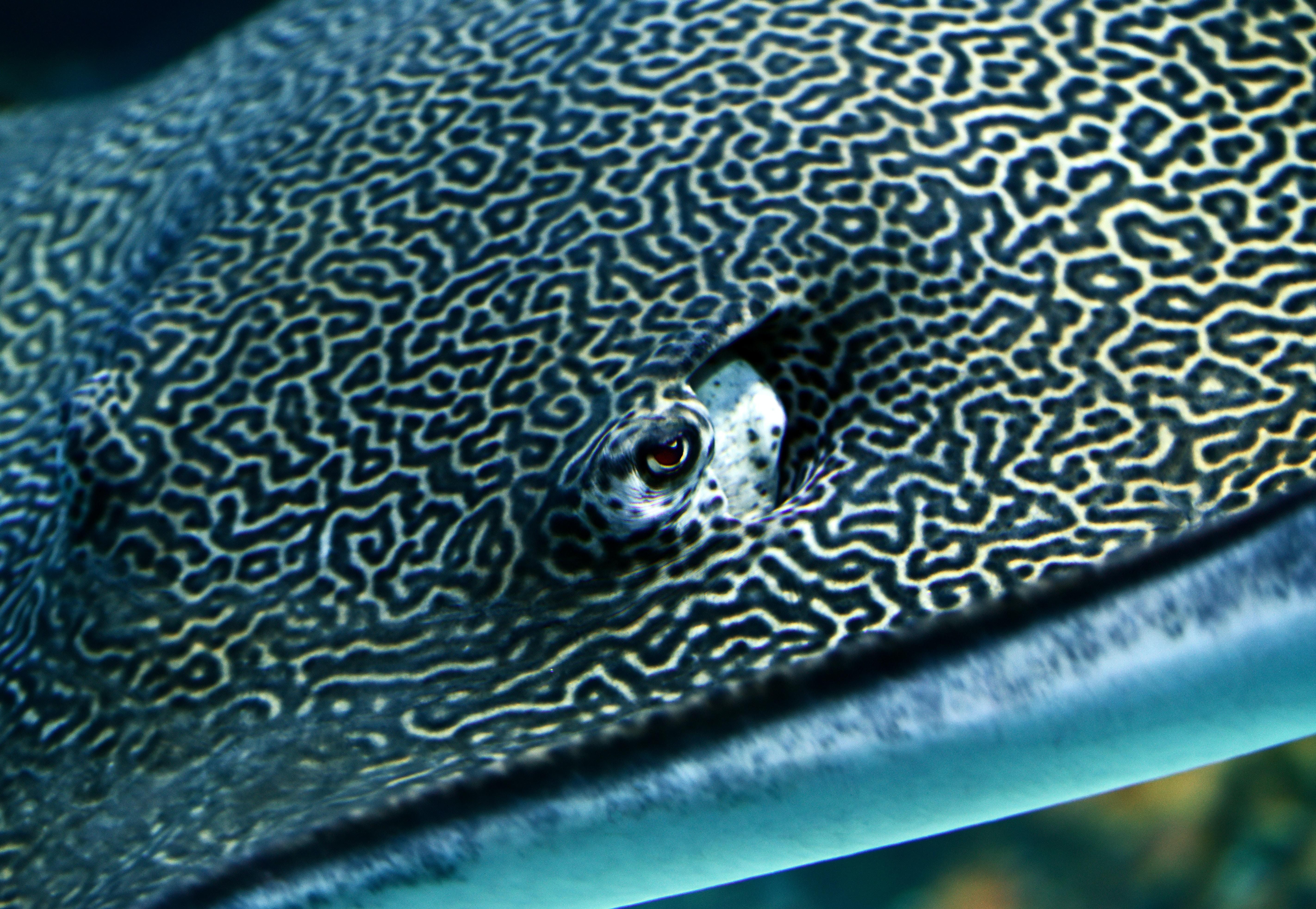 black and gray stingray closeup photography