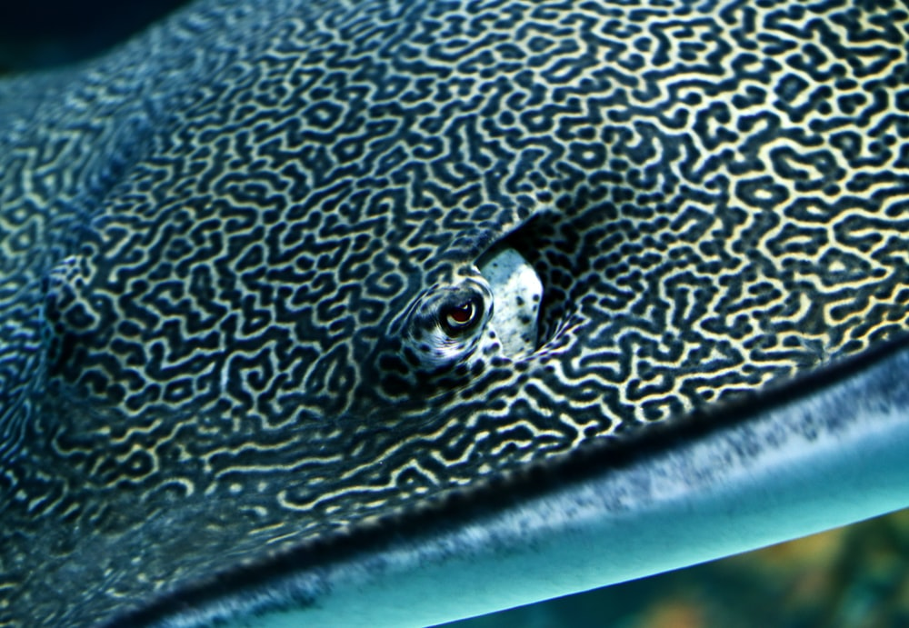 black and gray stingray closeup photography