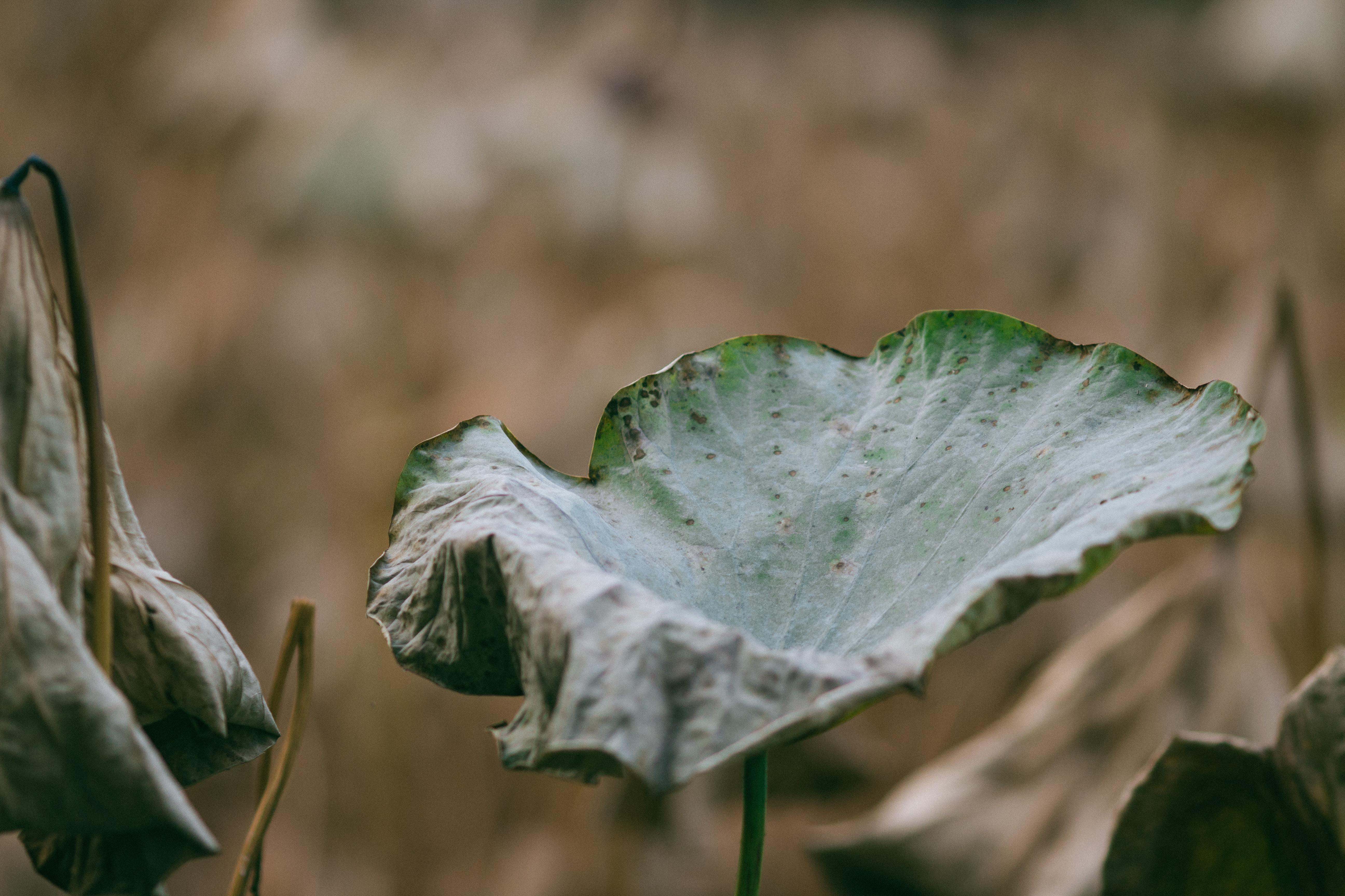 dry plant leaf